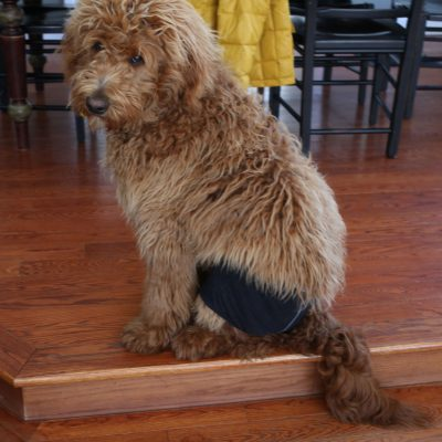 Dog Wearing Underwear – Nothing Funnier
